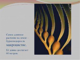 Самое длинное растение на земле – бурая водоросль макроцистис. Её длина дост