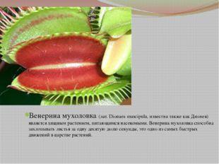 Венерина мухоловка (лат. Dionaea muscipula, известна также как Дионея) являе
