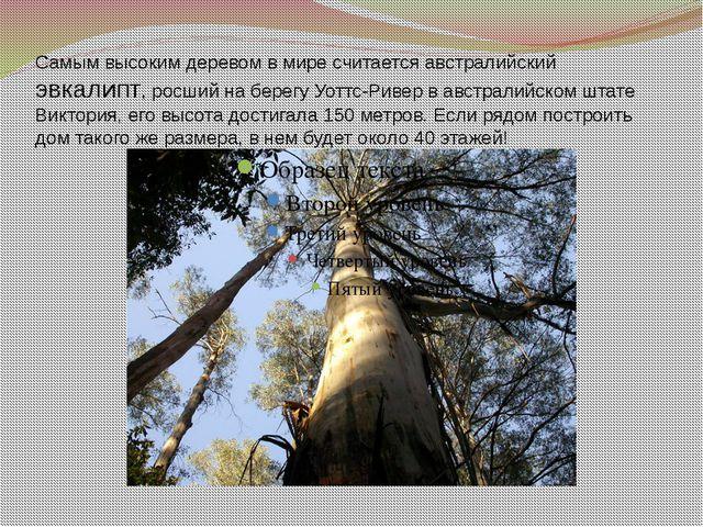 Самым высоким деревом в мире считается австралийский эвкалипт, росший на бере...