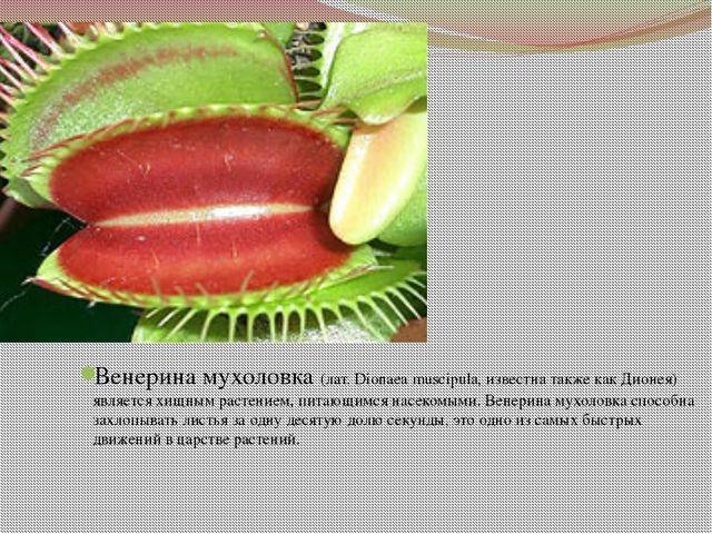Венерина мухоловка (лат. Dionaea muscipula, известна также как Дионея) являе...