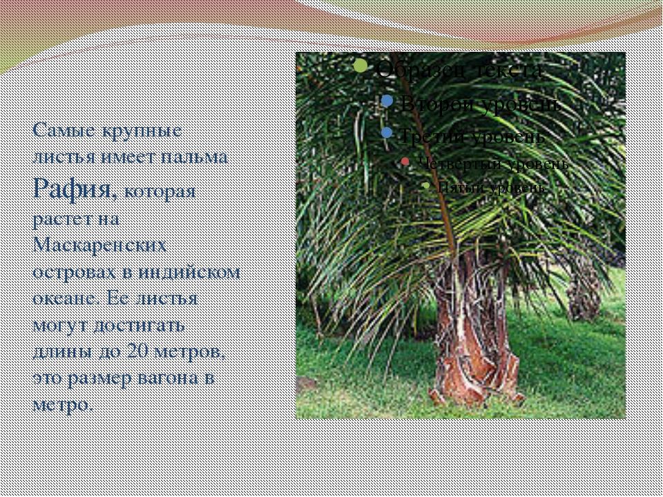 Самые крупные листья имеет пальма Рафия, которая растет на Маскаренских остр...