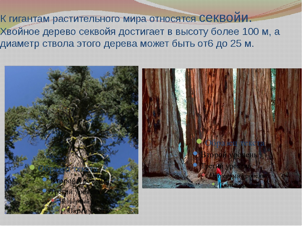 К гигантам растительного мира относятся секвойи. Хвойное дерево секвойя дости...