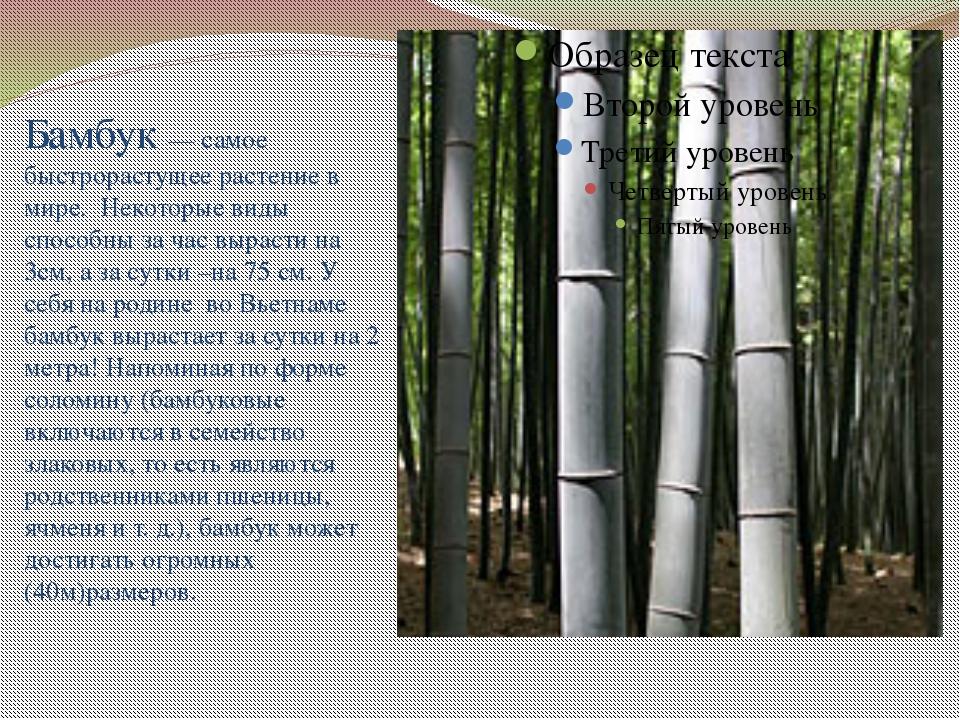 Бамбук — самое быстрорастущее растение в мире. Некоторые виды способны за ча...