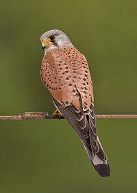 Common kestrel falco tinnunculus.jpg