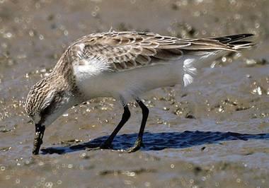 C:\Users\Марина\Desktop\день птиц\песочник красношейка.jpg