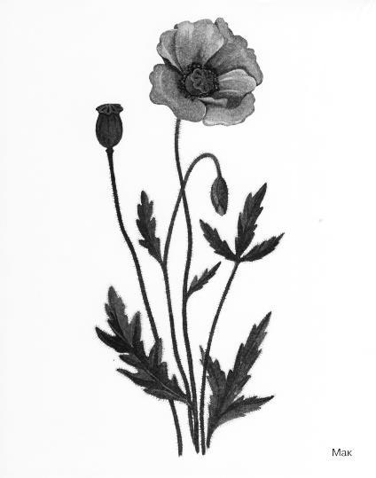 http://dasha46.narod.ru/Encyclopedic_Knowledge/Biology/Plants/Herbs/Poppy.jpg