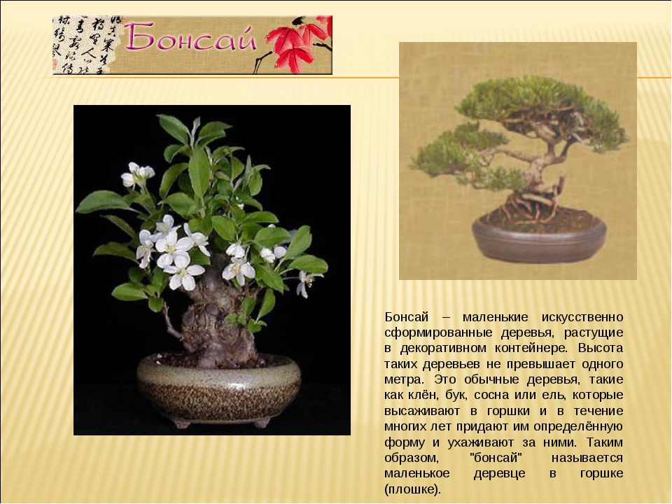 Бонсай – маленькие искусственно сформированные деревья, растущие в декоративн...