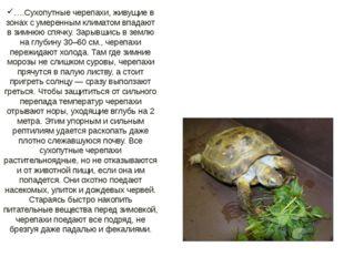 ….Сухопутные черепахи, живущие в зонах с умеренным климатом впадают в зимнюю