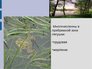 Многочисленны в прибрежной зоне лягушки: прудовая жерлянки