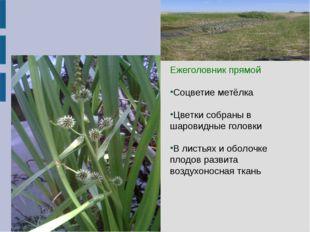 Ежеголовник прямой Ежеголовник прямой Соцветие метёлка Цветки собраны в ша