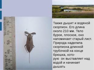 Также дышит и водяной скорпион. Его длина около 210 мм. Тело бурое, плоское,