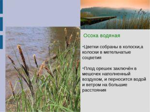 Осока водяная  Осока водяная Цветки собраны в колоски,а колоски в метельчат