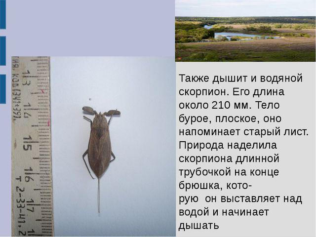 Также дышит и водяной скорпион. Его длина около 210 мм. Тело бурое, плоское,...