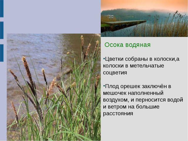 Осока водяная  Осока водяная Цветки собраны в колоски,а колоски в метельчат...