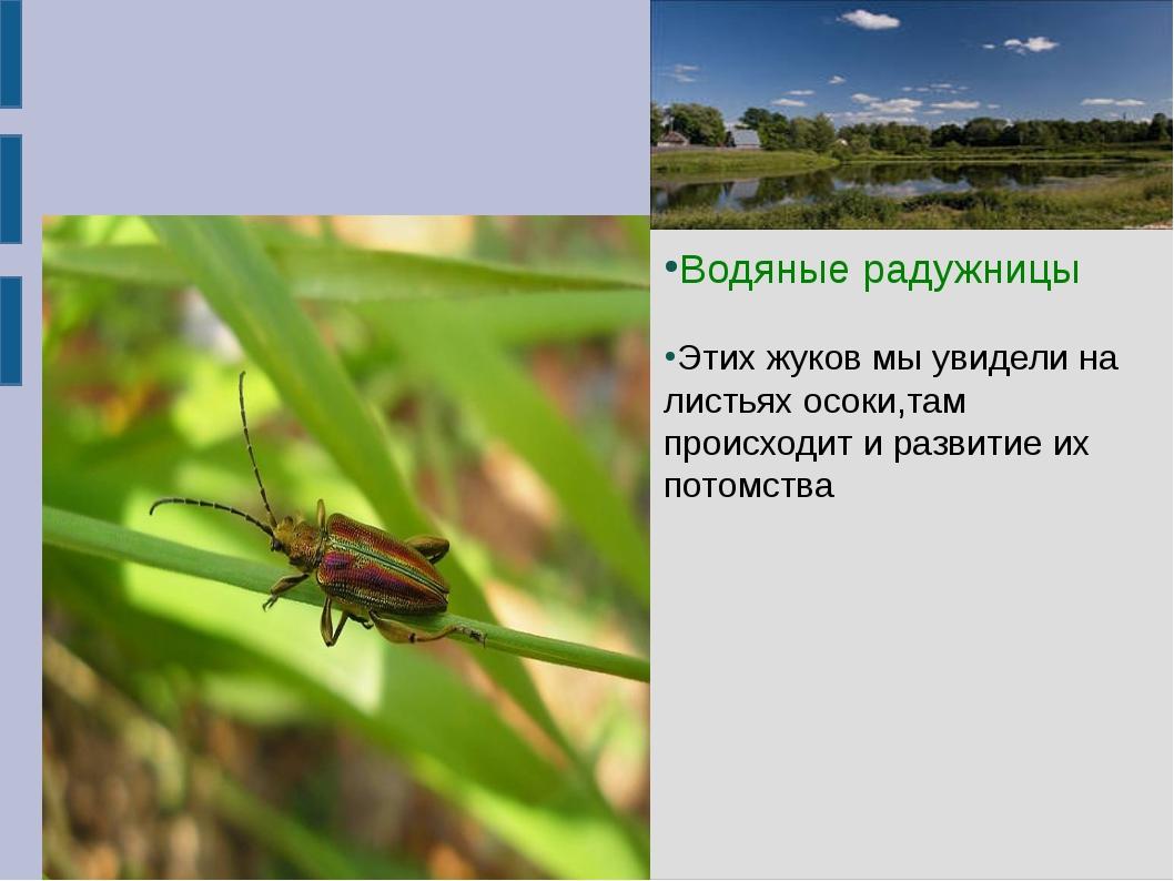 Водяные радужницы Водяные радужницы Этих жуков мы увидели на листьях осоки,...