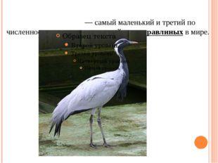Жура́вль-краса́вка— самый маленькийи третий по численности представитель с