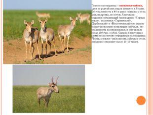 Символ заповедника – антилопа-сайгак, один из редчайших видов антилоп в Росси