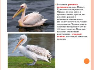 Встретить розового пеликана на озере Маныч-Гудило не такая редкость. Однако,