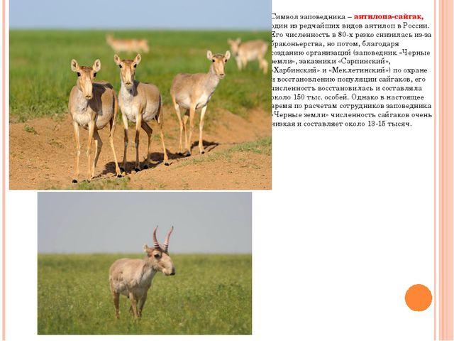 Символ заповедника – антилопа-сайгак, один из редчайших видов антилоп в Росси...