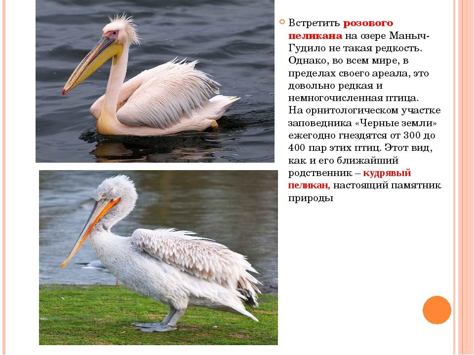 Встретить розового пеликана на озере Маныч-Гудило не такая редкость. Однако,...