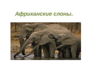 Африканские слоны. Слоныобитают в Африке и в Индии. В этих местах много троп