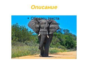 Описание Уши африканского слона:используется как веер, для остужения тела. Х
