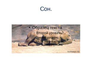 Сон. Спят слоны мало, как правило, стоя. Молодые или больные звери ложатся на