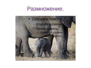 Размножение. Один раз в четыре года происходит рождение слонёнка. Беременност