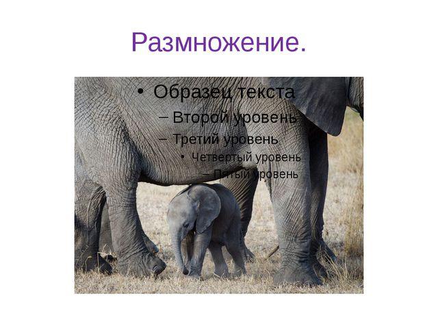 Размножение. Один раз в четыре года происходит рождение слонёнка. Беременност...
