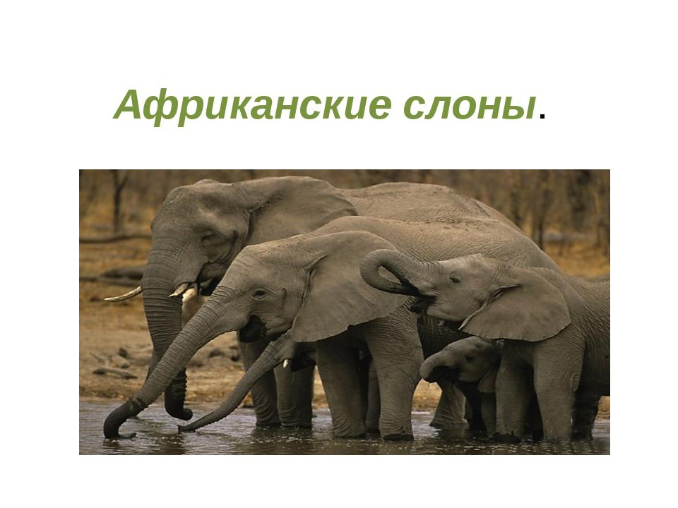 Африканские слоны. Слоныобитают в Африке и в Индии. В этих местах много троп...