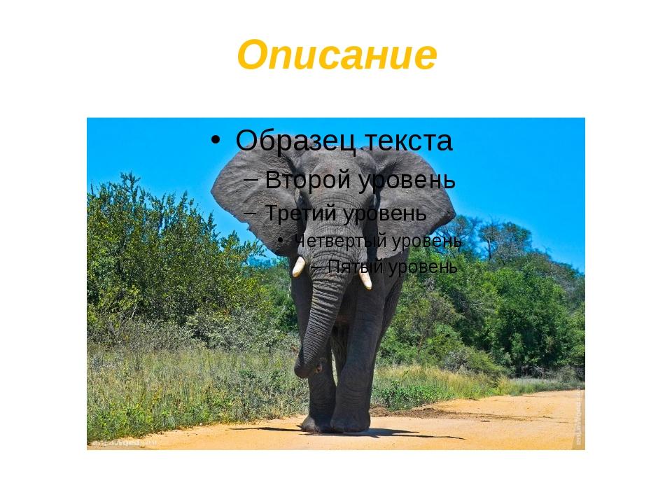 Описание Уши африканского слона:используется как веер, для остужения тела. Х...