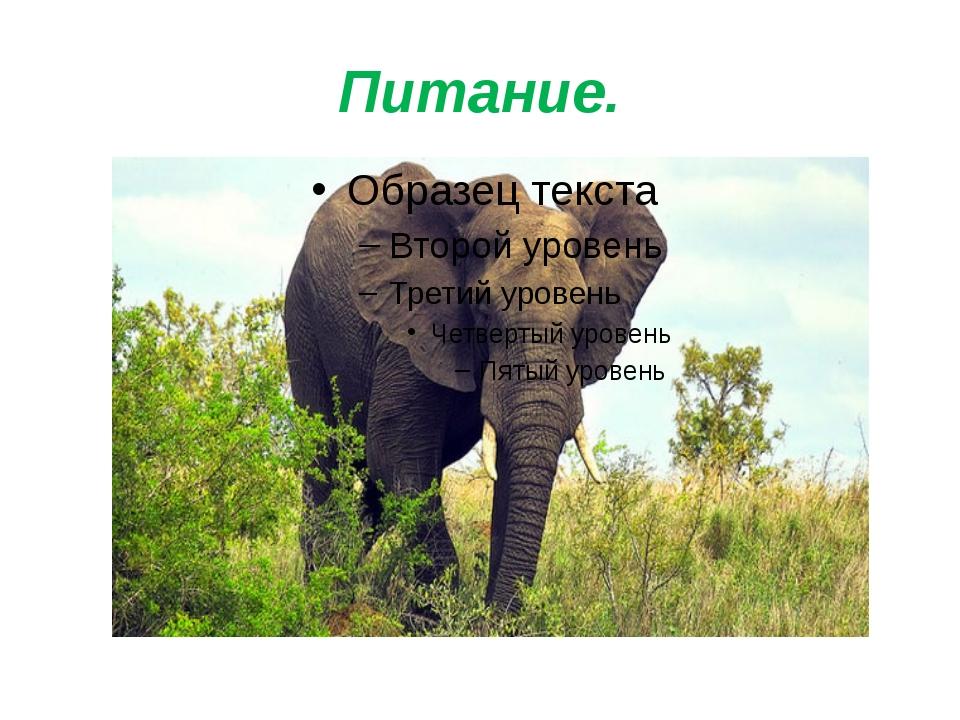Питание. Чем питается африканский слон? Слоны - травоядные животные. Они пита...