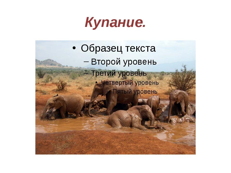 Купание. Слон хорошо плавает. По окончании купания они продолжают процедуры,...