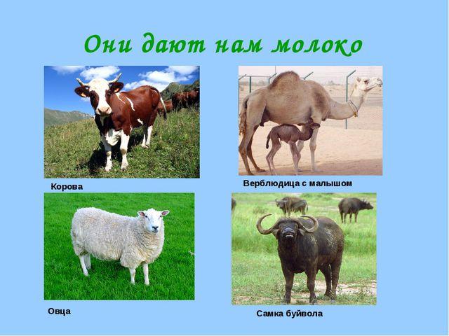 Они дают нам молоко Корова Верблюдица с малышом Овца Самка буйвола