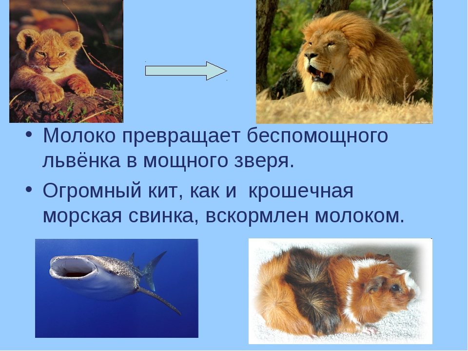 Молоко превращает беспомощного львёнка в мощного зверя. Огромный кит, как и к...