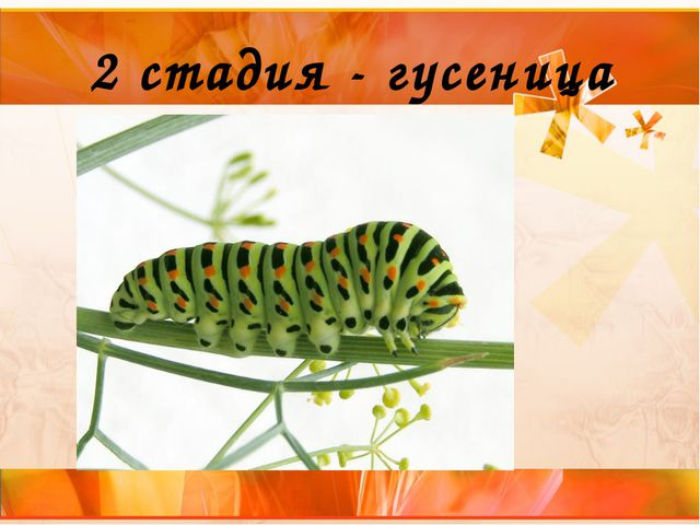 2 стадия - гусеница