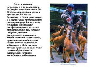 Лось- животное кочующее и в поисках пищи без труда проходит в день 50-60 кил