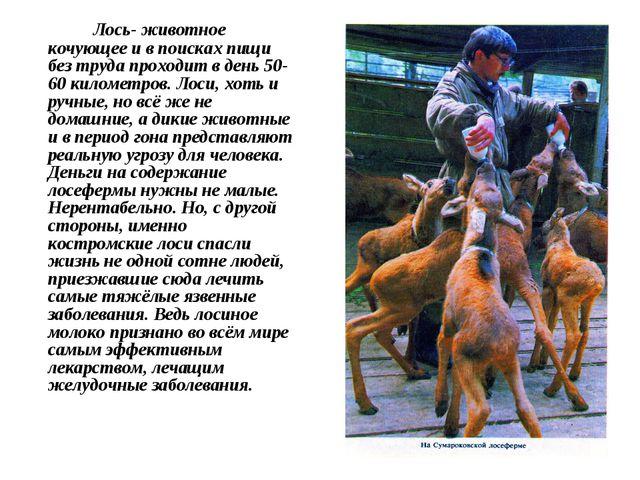 Лось- животное кочующее и в поисках пищи без труда проходит в день 50-60 кил...