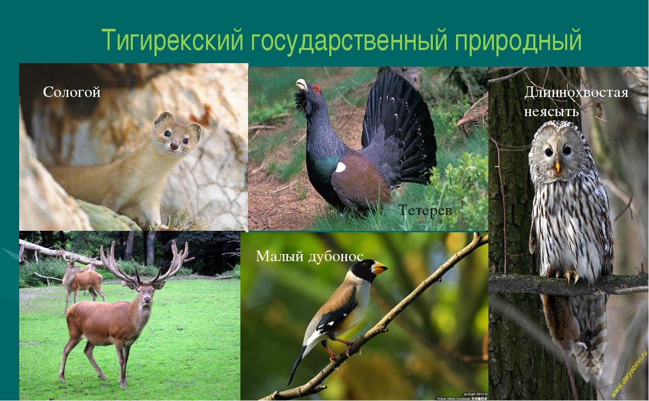 Тигирекский государственный природный заповедник Тетерев Длиннохвостая неясыт...