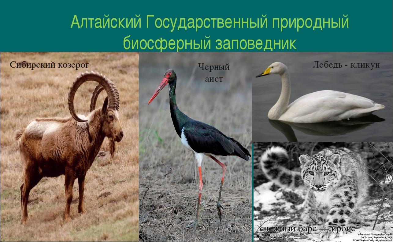 Алтайский Государственный природный биосферный заповедник Сибирский козерог Ч...