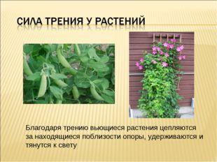 Благодаря трению вьющиеся растения цепляются за находящиеся поблизости опоры,
