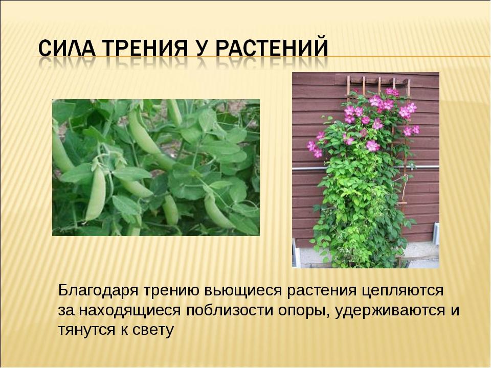 Благодаря трению вьющиеся растения цепляются за находящиеся поблизости опоры,...