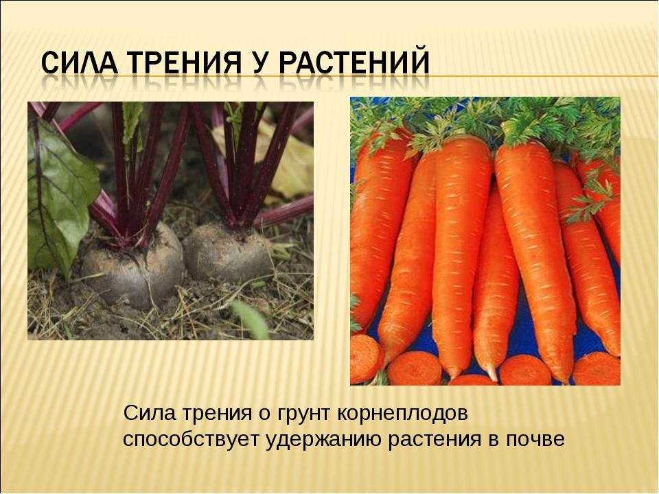Сила трения о грунт корнеплодов способствует удержанию растения в почве