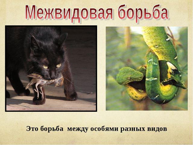 Это борьба между особями разных видов