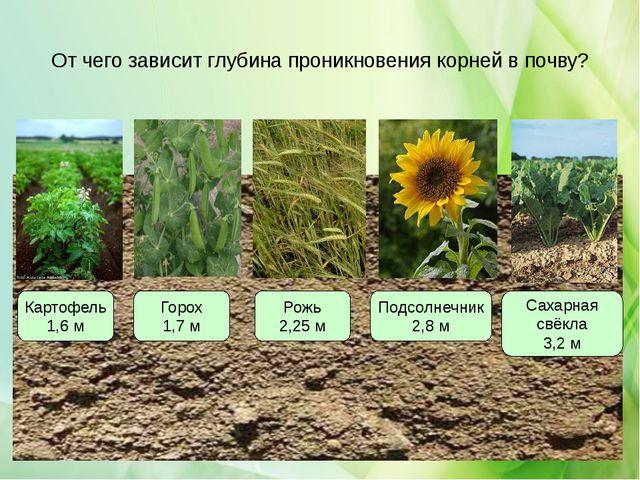 От чего зависит глубина проникновения корней в почву? Картофель 1,6 м Горох 1...