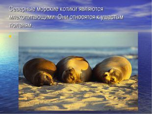 Северные морские котики являются млекопитающими. Они относятся к ушастым тюле