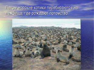Летом морские котики перебираются на лежбища, где рождают потомство.