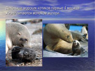 Детёныши морских котиков первые 4 месяца жизни питаются молоком матери.