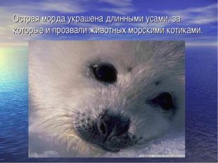 Острая морда украшена длинными усами, за которые и прозвали животных морскими