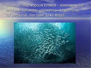 Основная пища морских котиков – всевозможные виды рыб, кальмары, каракатицы,